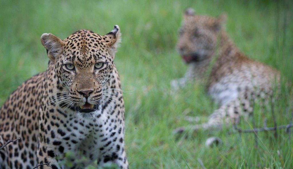 rsz_kruger-safaris-wildlife-leopards-01